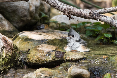 Black-crested Titmouse