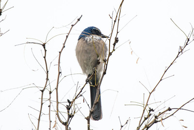 Woodhouse's Scrub Jay