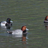 Redhead and Lesser Scaup
