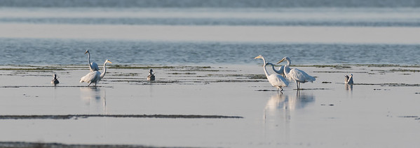 Great Egrets and Laughing Gulls