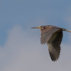 Try-colored Heron