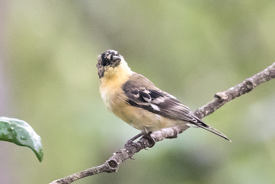 Lessor Goldfinch