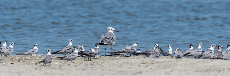 Laughing Gull with Black Terns