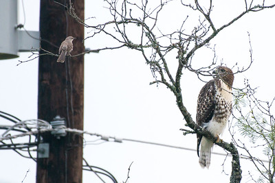 Red-tailed hawk and Northern Mockingbird