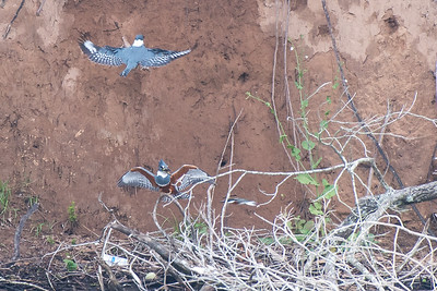 Ringed Kingfisher with Green Kingfisher
