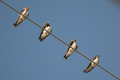 Northern-roughwinged Swallow