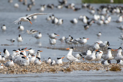 Royal and Sandwich Terns