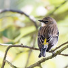 Yellow-Romped Warbler, myrtle