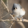 TuftedTitmouse_ThksgvngBirds-0322
