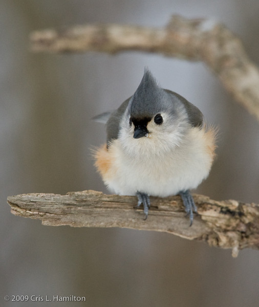 Tufted Titmouse-2950