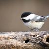 Chickadee_70-200II-1868