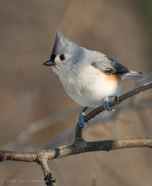 TuftedTitmouse_ThksgvngBirds-9956