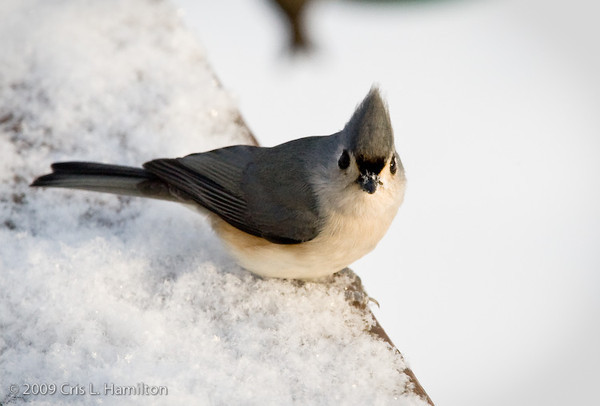 Tufted Titmouse-0662