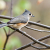Tufted Titmouse-2733