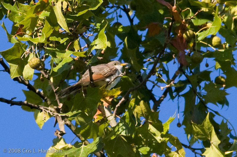 Cuckoo-3121