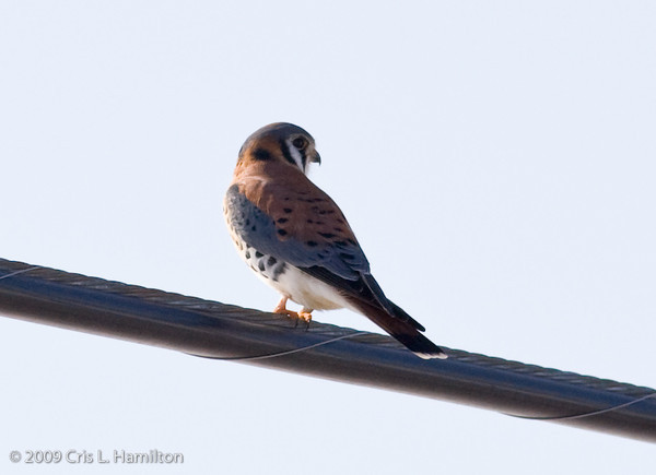 Kestrel Male-4276