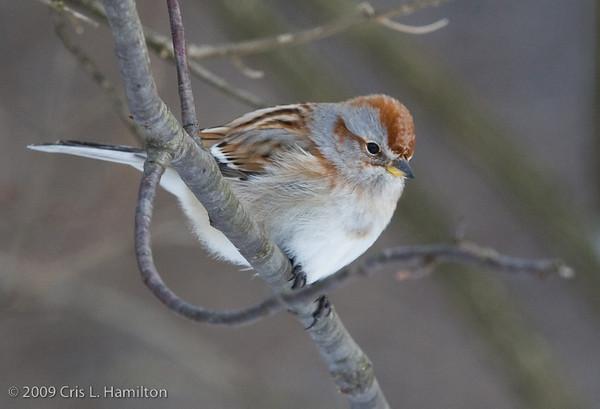American Tree Sparrow-2875
