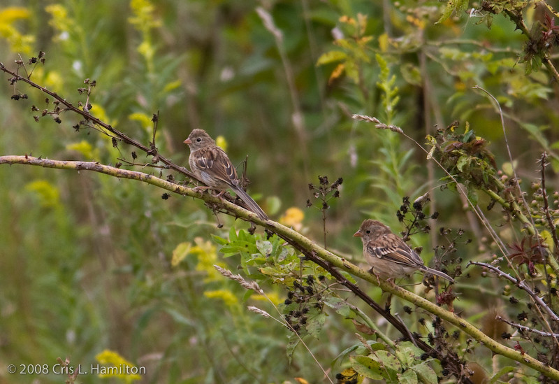 Field Sparrow_Tylstwn--3344