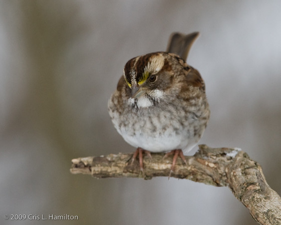 White-throated Sparrow-3129