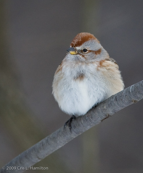 American Tree Sparrow-2878