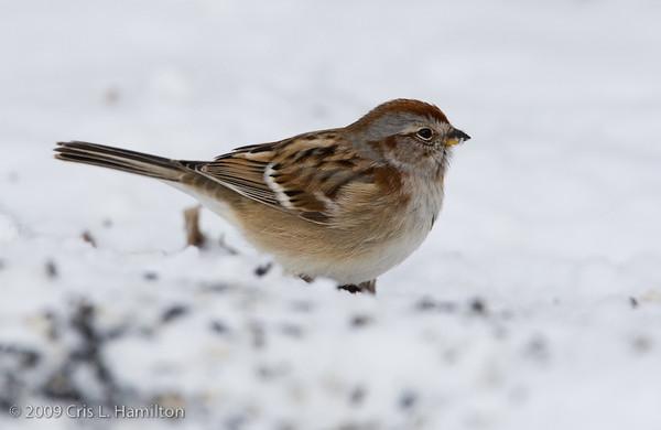 American Tree Sparrow-3008