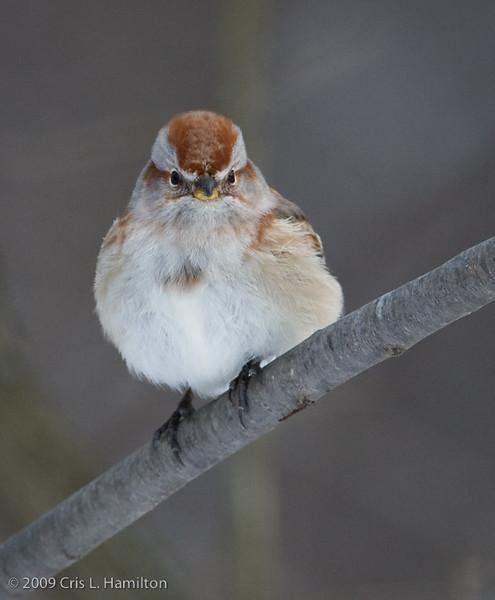 American Tree Sparrow-2876