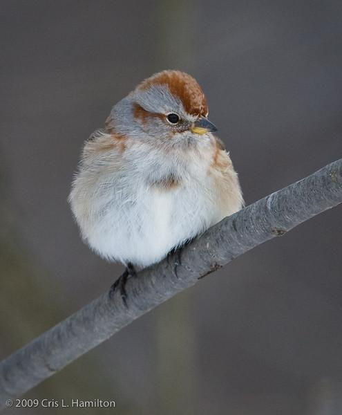 American Tree Sparrow-2881