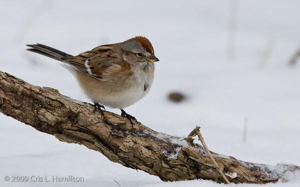 American Tree Sparrow-2990