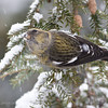 White-winged Crossbill Fem-3741
