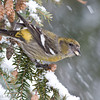 White-winged Crossbill Fem-3749