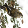 White-winged Crossbill Fem-3681