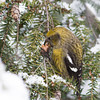 White-winged Crossbill Fem-3738