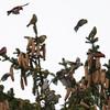White-winged Crossbills-1036