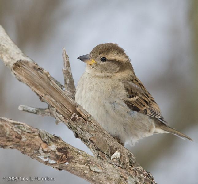 House Sparrow Fem-3063