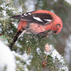 White-winged Crossbill Male-3799