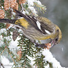 White-winged Crossbill Fem-3750