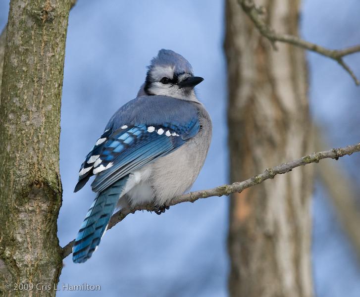Blue Jay-0159