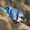 BlueJayThksgvngBirds-0303