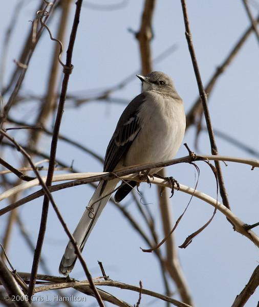 Northern Mockingbird-CBC-1017