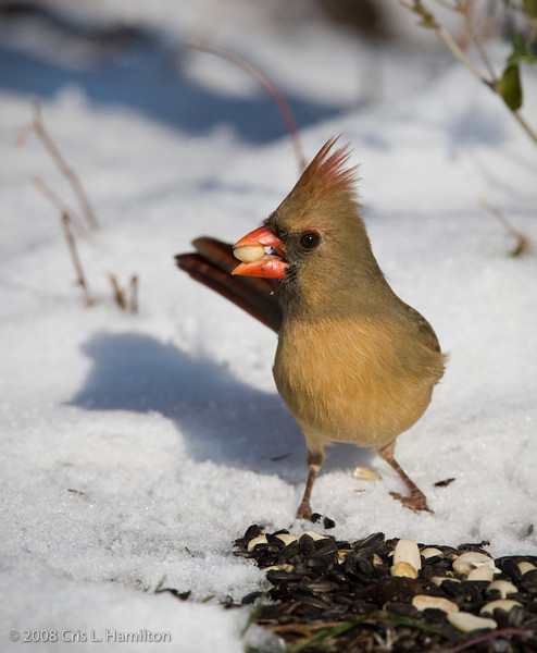 Cardinal Fem_ThksgvngBirds-0149