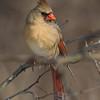 Cardinal Fem_ThksgvngBirds-0229