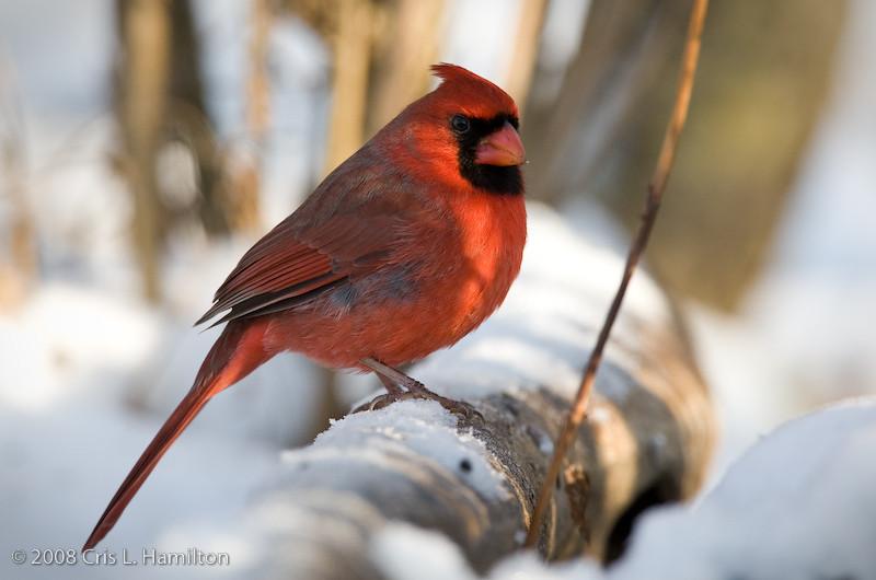 Cardinal Male_ThksgvngBirds-9932