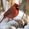 Cardinal Male_ThksgvngBirds-9932
