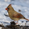 Cardinal Fem_ThksgvngBirds-0175