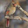 Cardinal Fem_ThksgvngBirds-0097