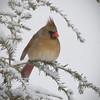 Cardinal Fem1568