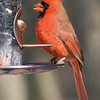Cardinal Male_ThksgvngBirds-0310