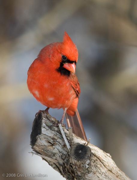 Cardinal Male_ThksgvngBirds-0302