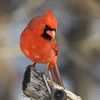 Cardinal Male_ThksgvngBirds-0302