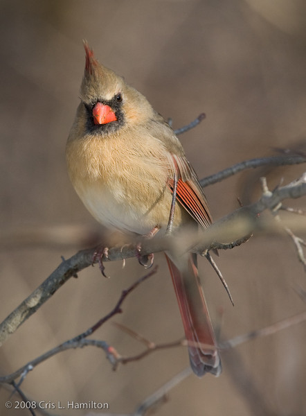 Cardinal Fem_ThksgvngBirds-0223